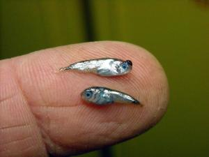 two juvenile fish on a fingertip