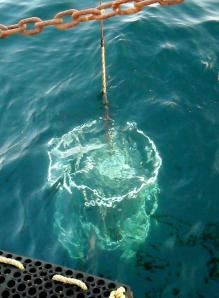 rosette visible just below the water's surface