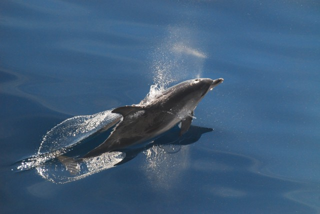 dolphin siting on research cruise