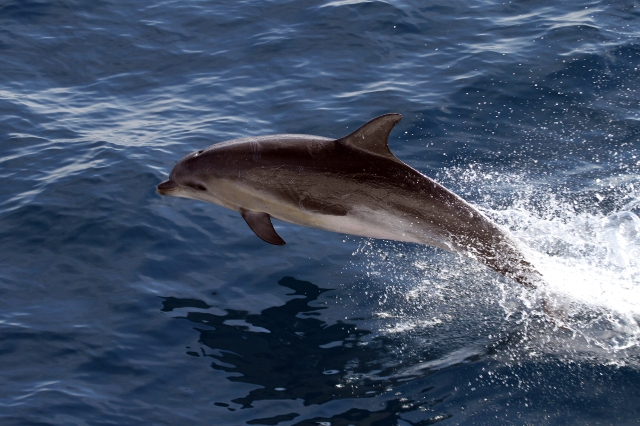 photo of jumping Bottlenose Dolphin on marine mammal survey and science research cruise