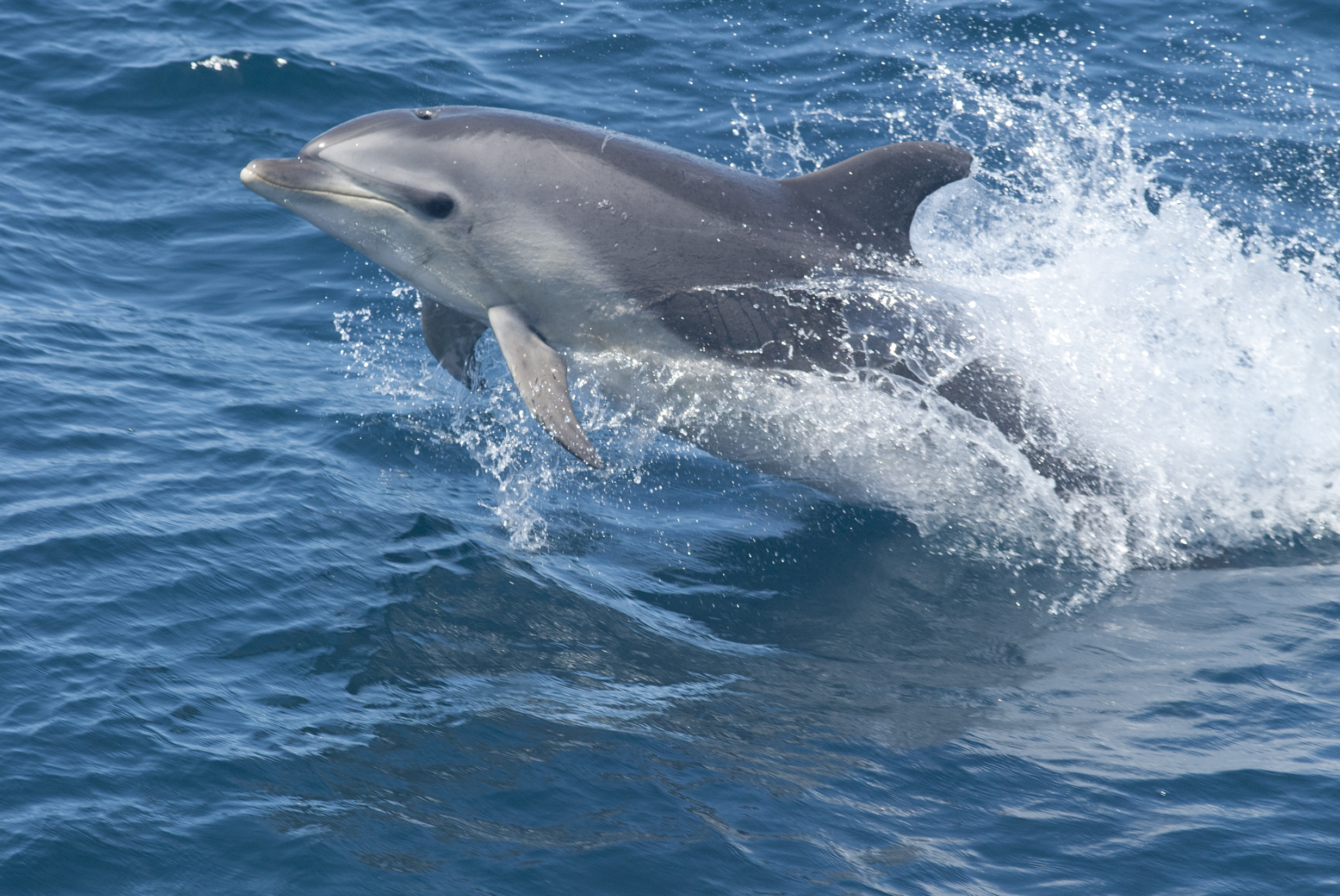 Suzy\'s Animals of the World Blog: THE BOTTLENOSE DOLPHINS