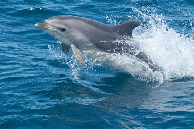Photo of jumping Bottlenose Dolphin (Tursiops truncatus)