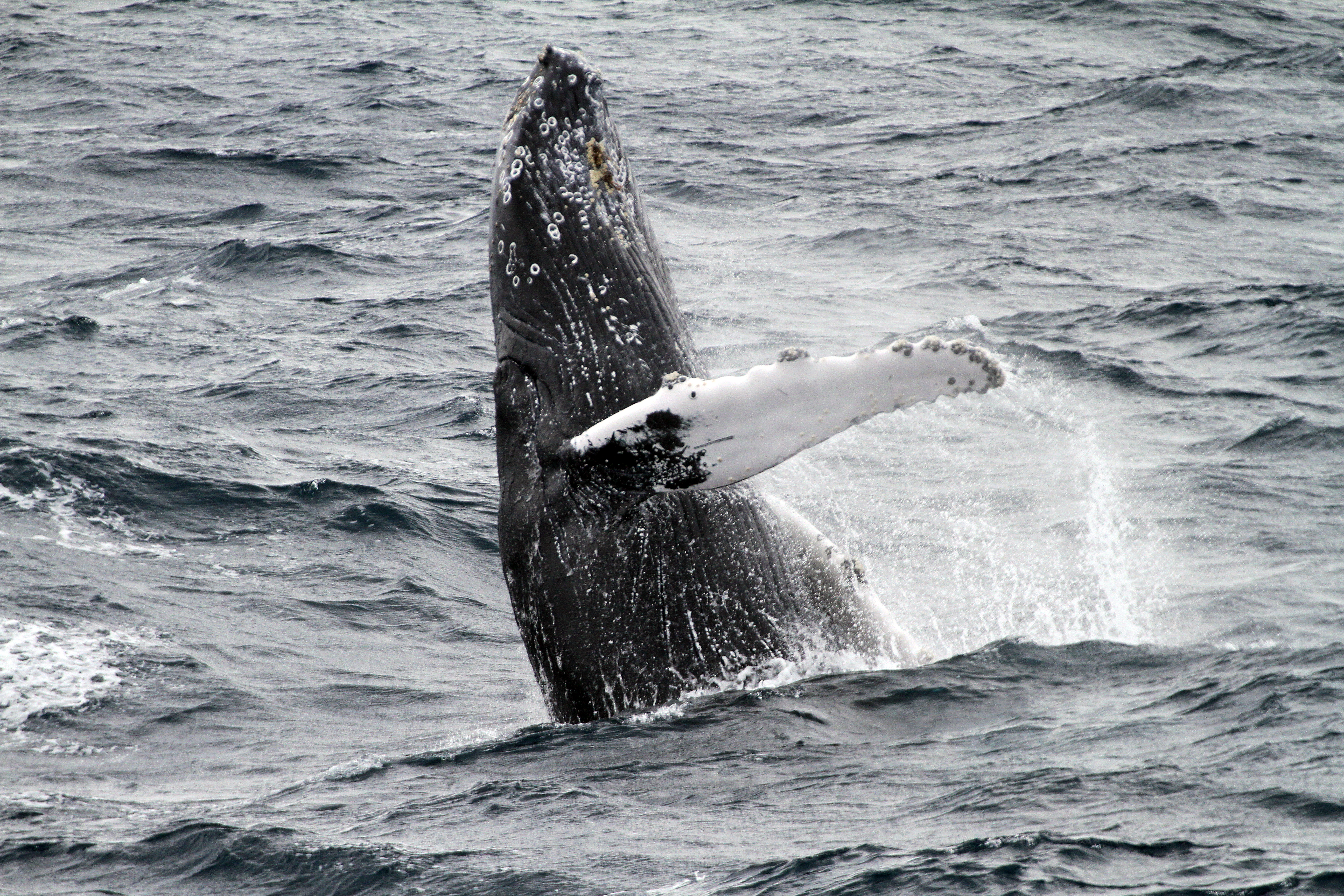 humpback whale facts - 1000×667