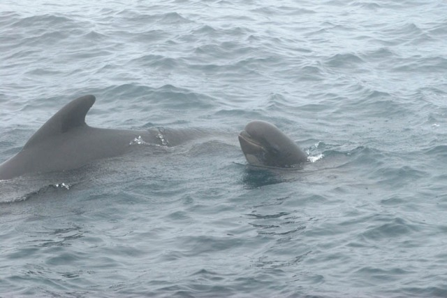 long-finned pilot whale and calf