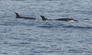 mother and calf killer whales