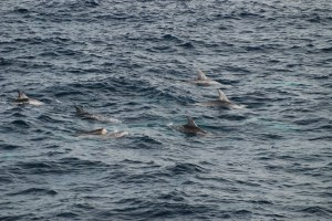 photo of risso dolphins with calf seen on research cruise during marine mammal survey