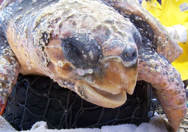 seaturtle logger head tagging conservation photo picture info research