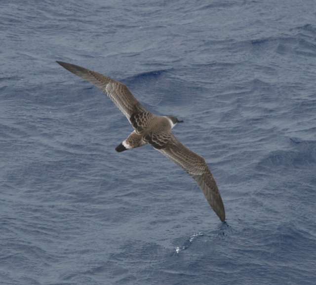 photo of shearwater sea bird