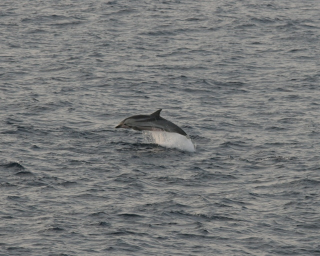 Striped Dolphin marine mammal research cruise survey picture information