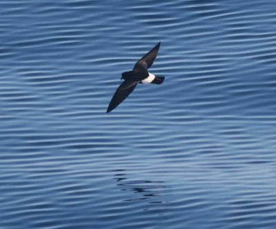 photo of wilson's storm petrel seen on research cruise