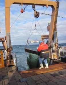 midwater trawl comes aboard