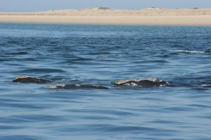 right whales skim feeding Provincetown Race Point NOAA NMFS NEFSC Fisheries