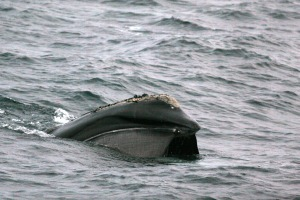 right whale NOAA NMFS Fisheries NEFSC skim feeding