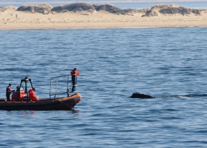 right whale research NOAA NMFS NEFSC Fisheries race point provincetown