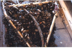 mussels on buoy