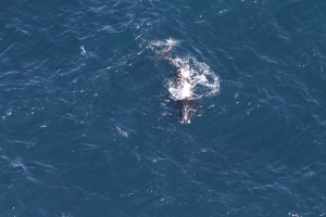 Arpeggio, born in 1997, photographed during the aerial survey May 14 by Pete Duley, NEFSC/NOAA.