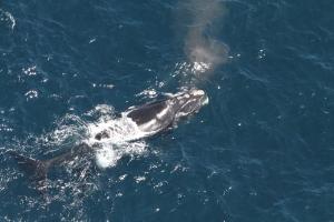 right whale Arpeggio