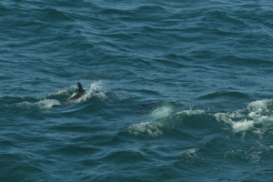 Closer shot of the spotted dolphins. (Photo credit:   Kelly Slivka NOAA/NEFSC)