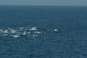 Pod of spotted dolphins. (Photo credit: NOAA/NEFSC  Kelly Slivka)