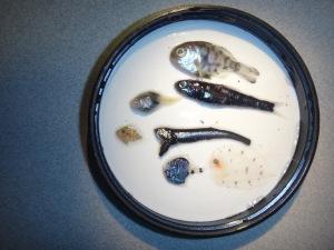 juvenile fish