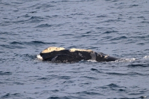 right whale NEFSC