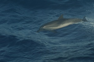 spotted dolphin NEFSC
