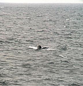 humpbaclk whale flukes