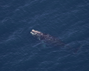 right whale named Dalmatian