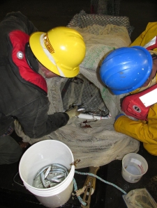 herring being removed from the cod-end of thje midwater trawl