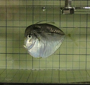 lookdown fish in respirometer
