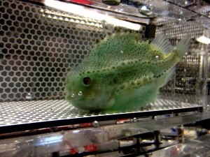 Lumpy the lumpfish in a respirometer chamnmbver