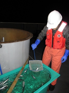 Biologist Chris Taylor transfers live herring to a holding tank
