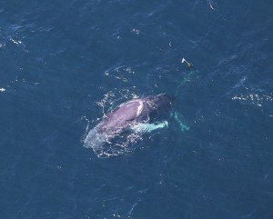 close-up of whale trailing float