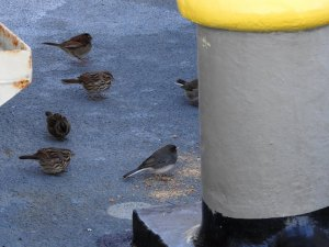 Small birds feeding on ship's deck