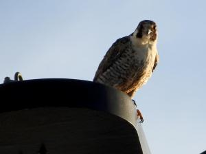 Falcon perched atop ship's upper deck