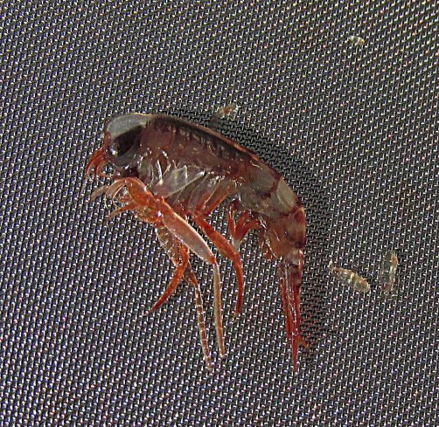 Hyperiid Amphipod rd.jpg