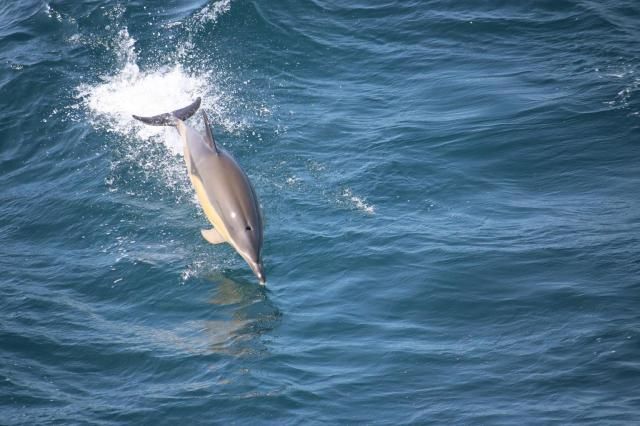2016 05 27 1004 Common Dolphin (28) rd(1)
