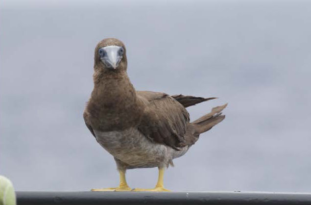 brown_booby_bigelow_amapps