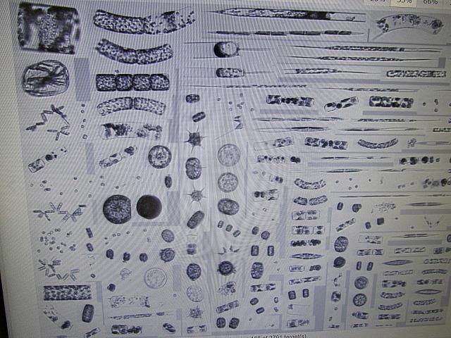 diatoms-rd