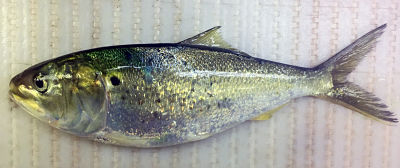 mature-menhaden_opt