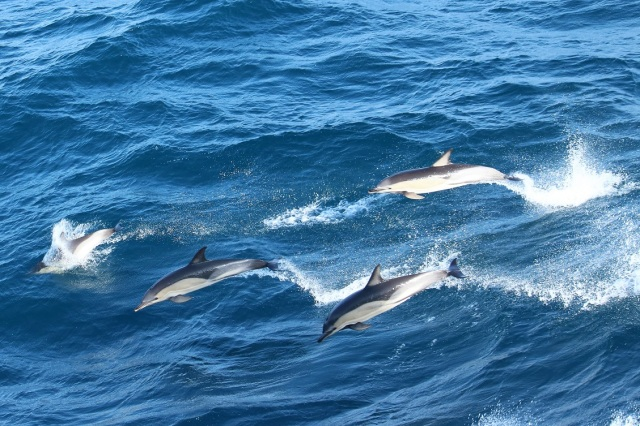 2017 05 20 1743 Common Dolphin Day 5 (24) enhcrp rd