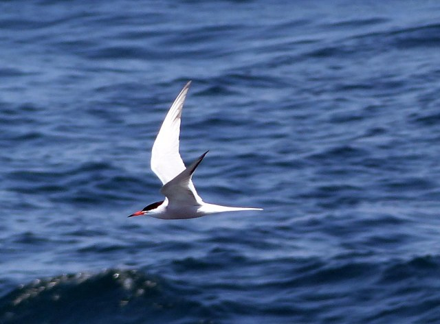 Common Tern Nick Metheny Photo ed.jpg