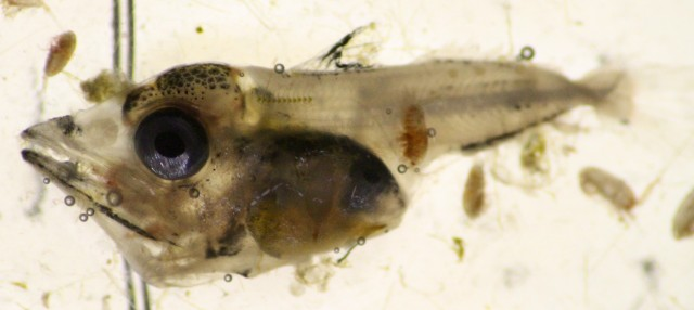 little tunny larvae.jpg