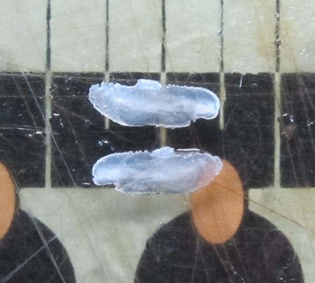bluefish_otoliths_cr