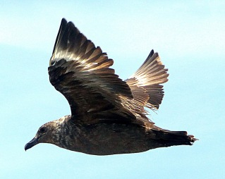 south-polar-skua-ed-rd