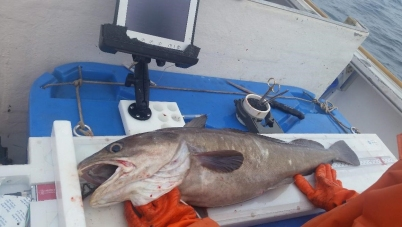 white hake being measured