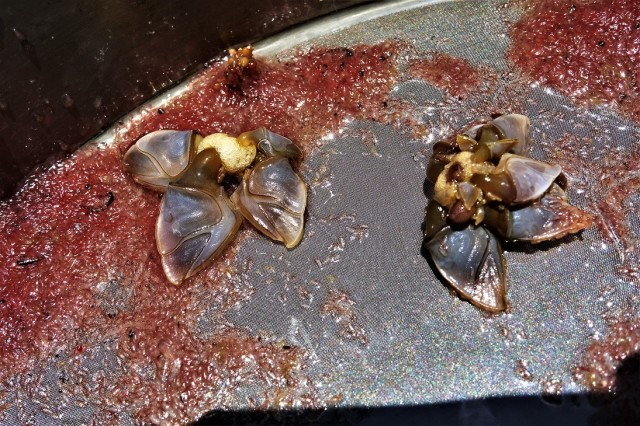 Gooseneck barnacles2 rd2